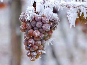 ice-wine-eiswine - Winederlusting_com